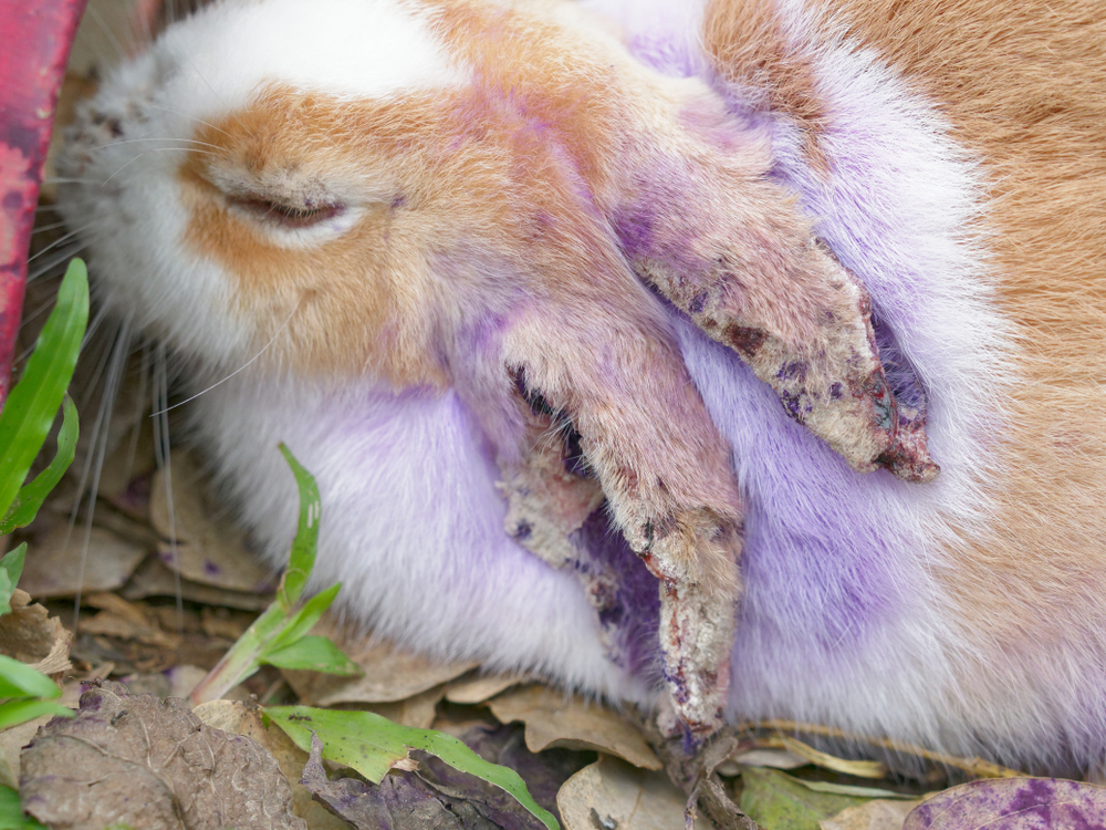 Myxomatosis Can It Affect Dogs